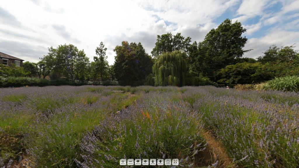lavender-garden-panorama